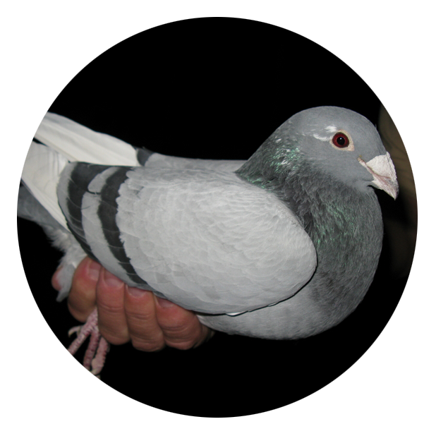 Best Breed Pigeon for Sale